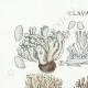 DETAILS 01 | Mycology - Mushroom - Clavaria Pl.216