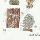 DETAILS 03 | Mycology - Mushroom - Clavaria Pl.216