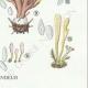 DETAILS 06 | Mycology - Mushroom - Clavaria Pl.216