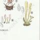 DETAILS 08 | Mycology - Mushroom - Clavaria Pl.216
