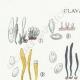 DÉTAILS 01 | Mycologie - Champignon - §Clavaria Pl.219