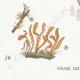 DÉTAILS 03 | Mycologie - Champignon - §Clavaria Pl.219
