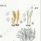 DÉTAILS 04 | Mycologie - Champignon - §Clavaria Pl.219