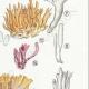 DÉTAILS 05 | Mycologie - Champignon - §Clavaria Pl.219