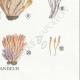 DÉTAILS 06 | Mycologie - Champignon - §Clavaria Pl.219