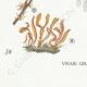 DÉTAILS 07 | Mycologie - Champignon - §Clavaria Pl.219