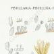 DÉTAILS 01 | Mycologie - Champignon - Pistillaria - Pistillina - Pierula - Craterellus Pl.221