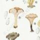 DÉTAILS 02 | Mycologie - Champignon - Pistillaria - Pistillina - Pierula - Craterellus Pl.221