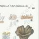 DÉTAILS 04 | Mycologie - Champignon - Pistillaria - Pistillina - Pierula - Craterellus Pl.221