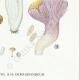 DÉTAILS 06 | Mycologie - Champignon - Pistillaria - Pistillina - Pierula - Craterellus Pl.221