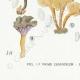 DÉTAILS 07 | Mycologie - Champignon - Pistillaria - Pistillina - Pierula - Craterellus Pl.221