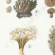 DÉTAILS 02 | Mycologie - Champignon - Telephora Pl.222