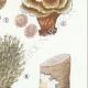 DÉTAILS 05 | Mycologie - Champignon - Telephora Pl.222