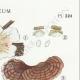 DETAILS 04 | Mycology - Mushroom - Stereum Pl.224