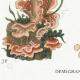 DETAILS 03 | Mycology - Mushroom - Stereum Pl.225