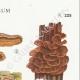 DETAILS 04 | Mycology - Mushroom - Stereum Pl.225