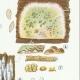 DÉTAILS 05 | Mycologie - Champignon - Coniophora - Solenia Pl.226