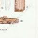 DÉTAILS 08 | Mycologie - Champignon - Corticium Pl.229