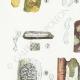 DETAILS 02 | Mycology - Mushroom - Exobasidium - Hypochnus Pl.231