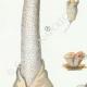 DETAILS 02   Mycology - Mushroom - Phallus - Clathrus - Cyathus - Thelebolus Pl.232