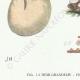 DETAILS 03   Mycology - Mushroom - Phallus - Clathrus - Cyathus - Thelebolus Pl.232