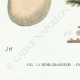 DETAILS 07   Mycology - Mushroom - Phallus - Clathrus - Cyathus - Thelebolus Pl.232