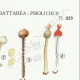 DETAILS 04   Mycology - Mushroom - Queletia - Tulostoma - Battarea - Pisolithus Pl.233