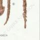 DETAILS 06   Mycology - Mushroom - Queletia - Tulostoma - Battarea - Pisolithus Pl.233