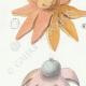 DETAILS 02   Mycology - Mushroom - Geaster Pl.235