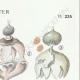 DETAILS 04   Mycology - Mushroom - Geaster Pl.235