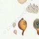 DÉTAILS 02 | Mycologie - Champignon - Lycoperdon - Utraria pl.237