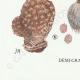 DÉTAILS 07 | Mycologie - Champignon - Lycoperdon - Utraria pl.237