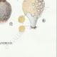 DÉTAILS 08 | Mycologie - Champignon - Lycoperdon - Utraria pl.237