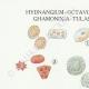 DETAILS 01 | Mycology - Mushroom - Hydnangium - Octaviana Pl.240