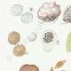 DETAILS 02 | Mycology - Mushroom - Hydnangium - Octaviana Pl.240