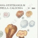 DETAILS 04 | Mycology - Mushroom - Hydnangium - Octaviana Pl.240