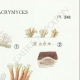 DETAILS 04 | Mycology - Mushroom - Calocera - Dacrymyces Pl.241