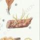DETAILS 05 | Mycology - Mushroom - Calocera - Dacrymyces Pl.241