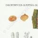 DETAILS 01   Mycology - Mushroom - Dacrymyces - Guepinia Pl.242