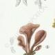 DETAILS 02   Mycology - Mushroom - Dacrymyces - Guepinia Pl.242