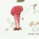 DETAILS 03   Mycology - Mushroom - Dacrymyces - Guepinia Pl.242
