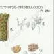 DETAILS 04   Mycology - Mushroom - Dacrymyces - Guepinia Pl.242