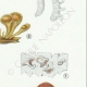 DETAILS 05   Mycology - Mushroom - Dacrymyces - Guepinia Pl.242