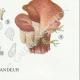 DETAILS 06   Mycology - Mushroom - Dacrymyces - Guepinia Pl.242