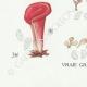 DETAILS 07   Mycology - Mushroom - Dacrymyces - Guepinia Pl.242
