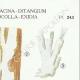 DETAILS 04 | Mycology - Mushroom - Tremellodon - Sebacina Pl.243
