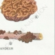 DÉTAILS 06   Mycologie - Champignon - Exidia - Tremella Pl.244