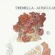 DETAILS 01 | Mycology - Mushroom - Tremella - Auricularia Pl.246