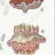 DETAILS 05 | Mycology - Mushroom - Tremella - Auricularia Pl.246