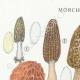 DETAILS 01 | Mycology - Mushroom - Morchella Pl.247